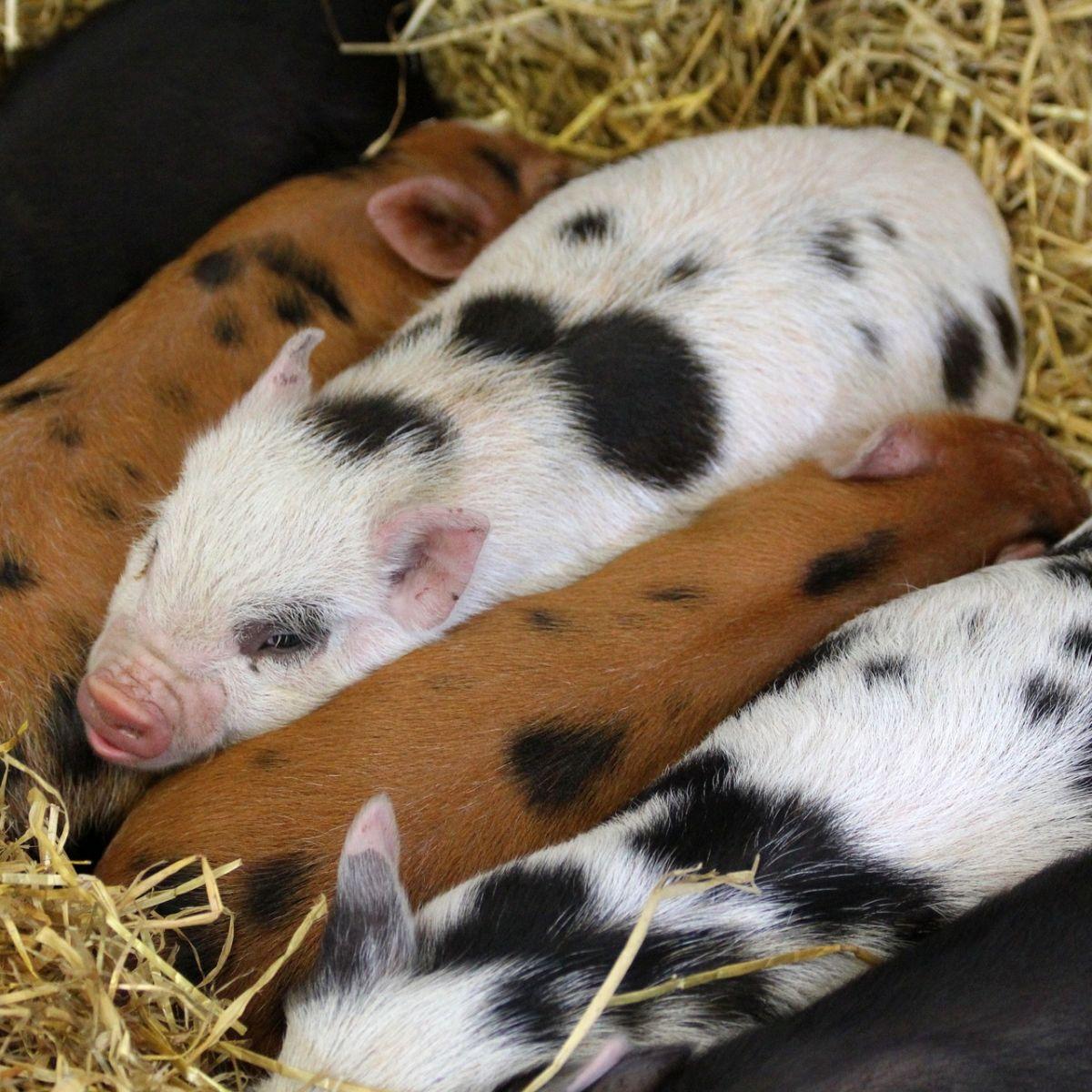 Piglets babies