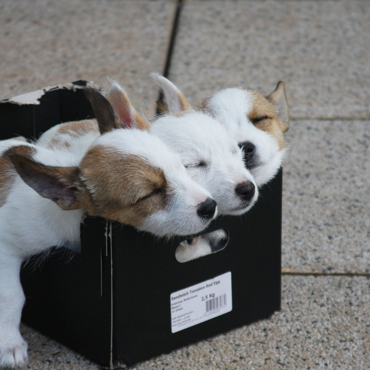 Sleeping puppies in box