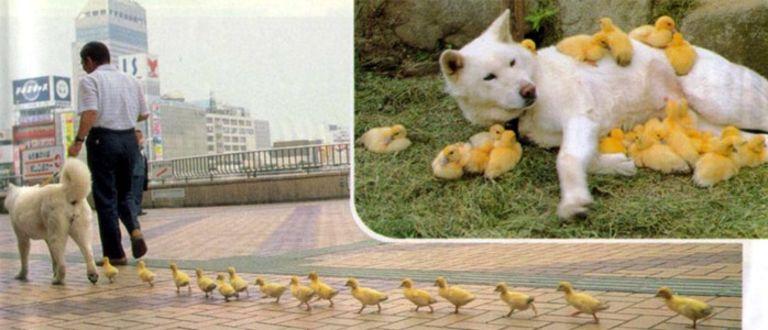 Ducklings, ducks, dog