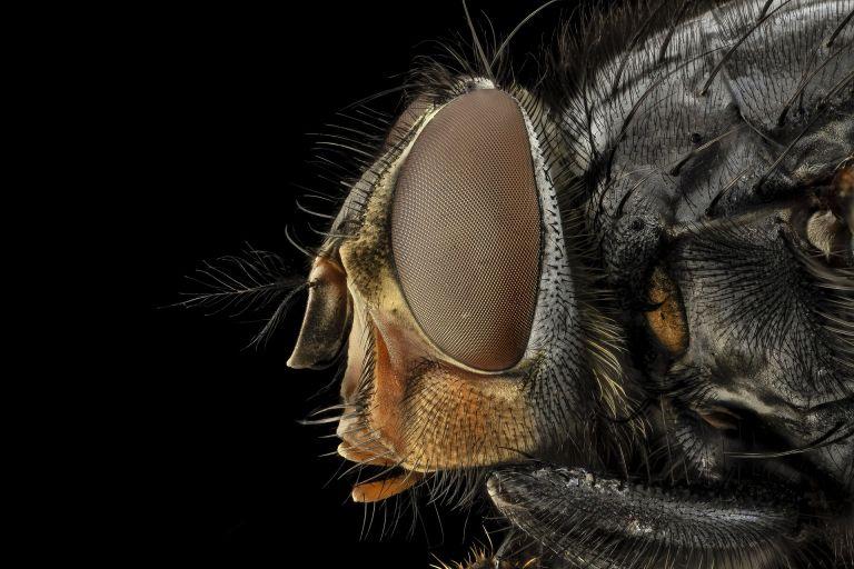 Insect, blue bottle fly, macro, eye