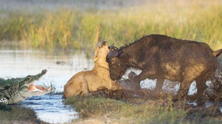 Crocodile - Lion - Buffalo