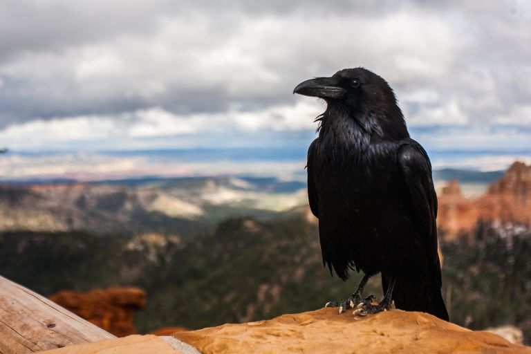 Crow / Raven in front of canyon in nature