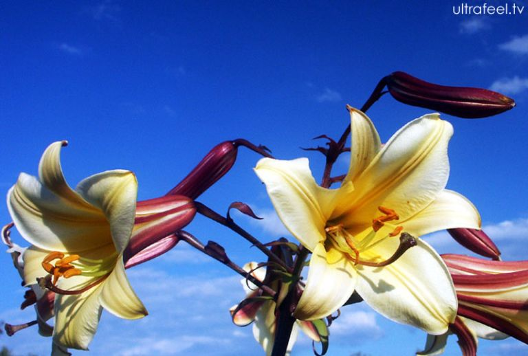 Yellow Lily in the Blue Sky (Lilium)
