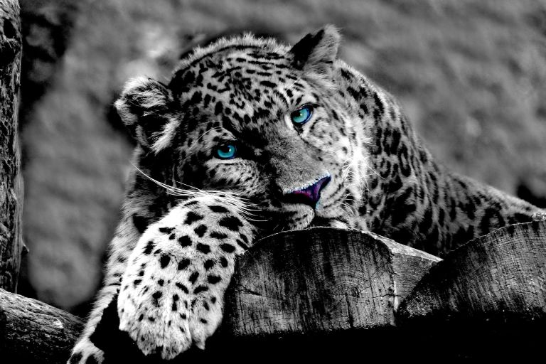 Leopard with blue piercing eyes