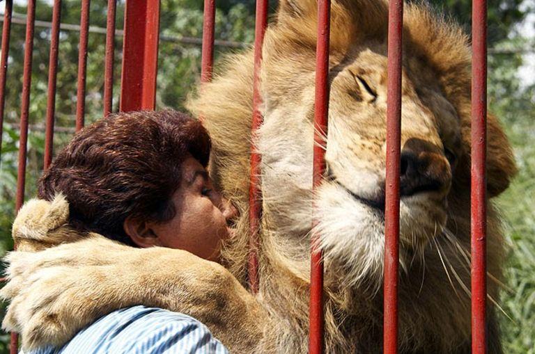Huge lion hugs woman through bars