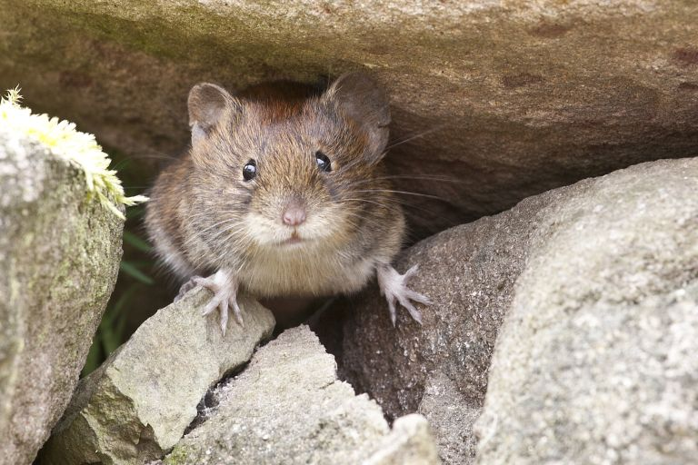Mouse peeking between stones