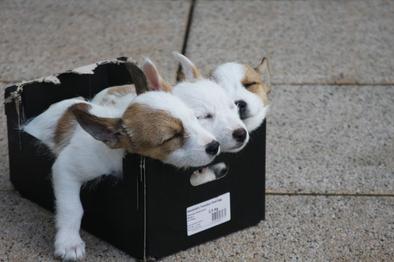 Sleeping puppies in box