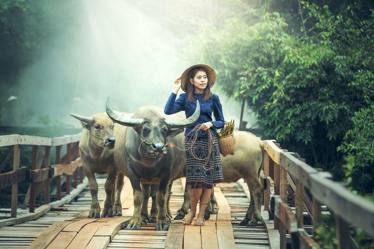 Asiatische frau mit stieren / büffel.