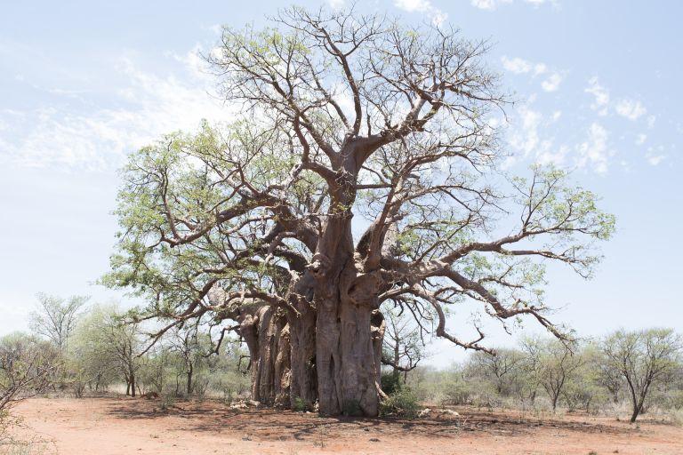 Baobab: Huge tree