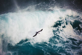 Fulmar flying over crashing waves, Shetland