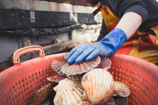 Scallops being placed in basket