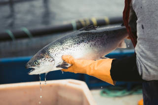Scottish salmon being held by salmon farm worker