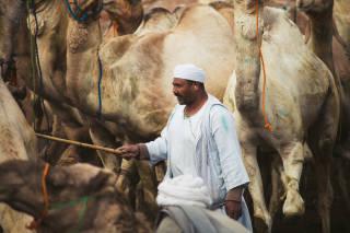 Man among camels