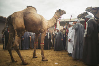 Camel being sold