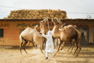 Man hitting camels with a stick
