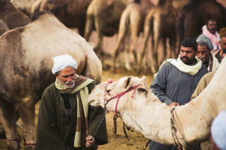 Man speaking to his camel