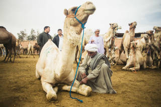 Man tying the leg of a camel