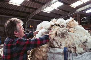Crofter placing cut wool in a bag
