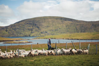 Crofter among sheep