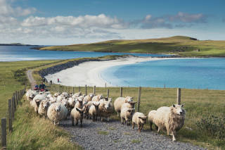 Sheep being herded above beach