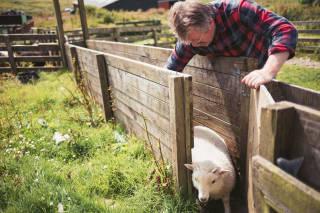 Sheep being guided through a run