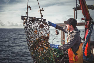 Worker emptying scallop dredge