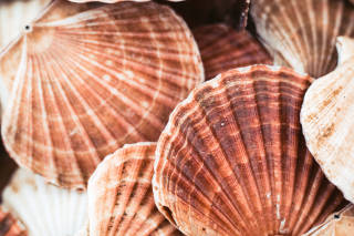Scallop shells close-up