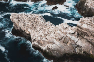 Gannets on a cliff