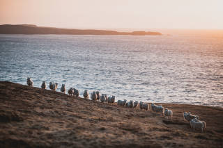 Sheep at sunset in field