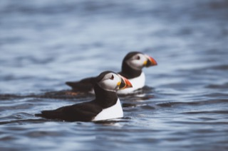 Puffins on the sea, Boddam