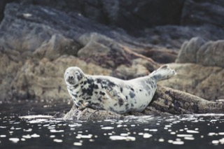Harbour seal, near Quarff