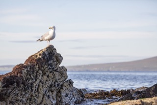 Herring gull on a rock, Quarff