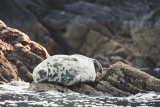 Harbour seal sleeping on a rock, near Quarff