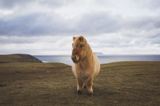 Shetland pony near deepdale, Foula in background