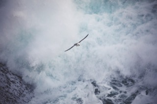 Fulmar flying over the waves, No Ness