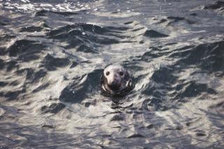 Grey seal, No Ness