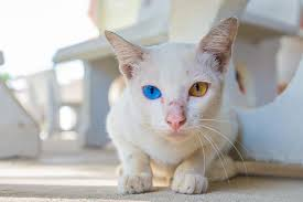 cats with different eye colors