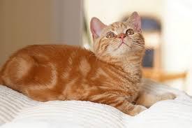American Bob Tail cat