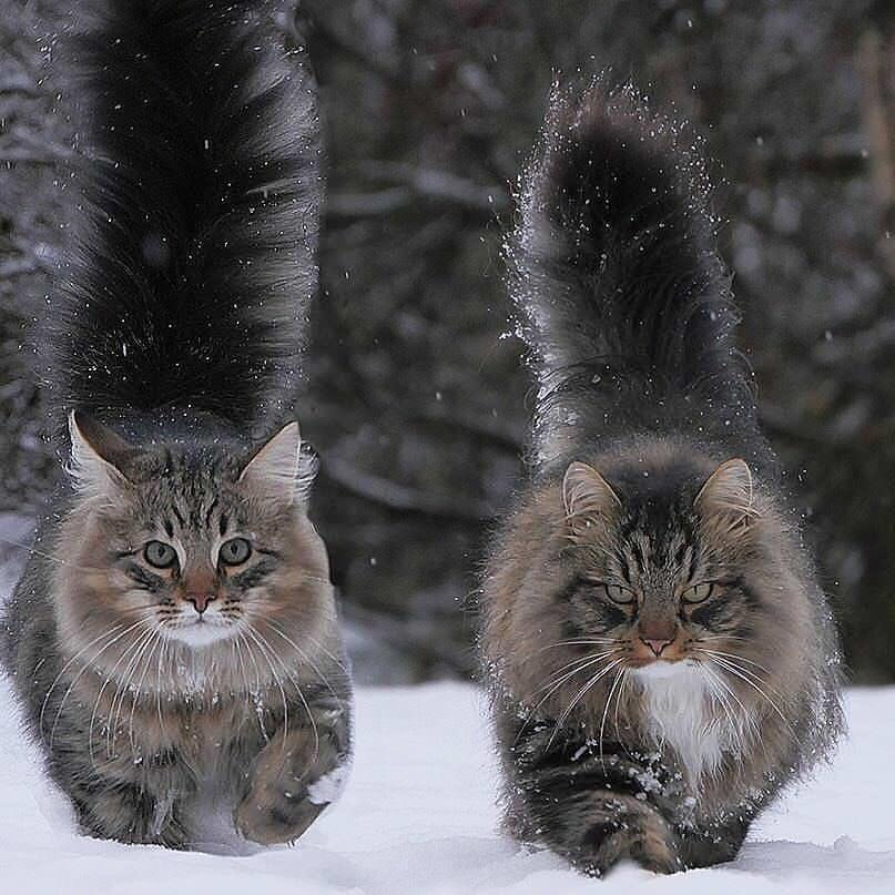 viking cats