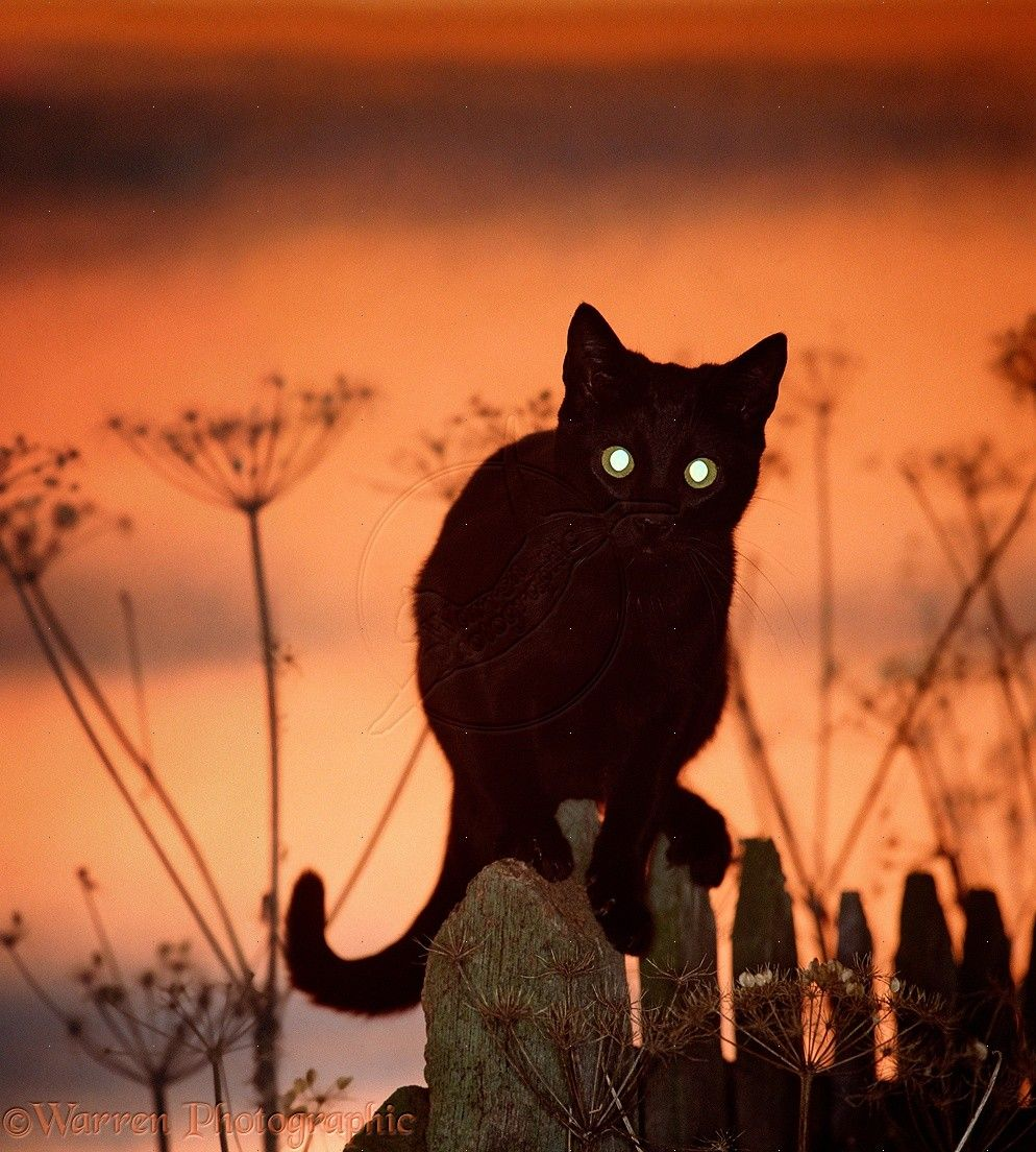 Crepuscular behavior of cats