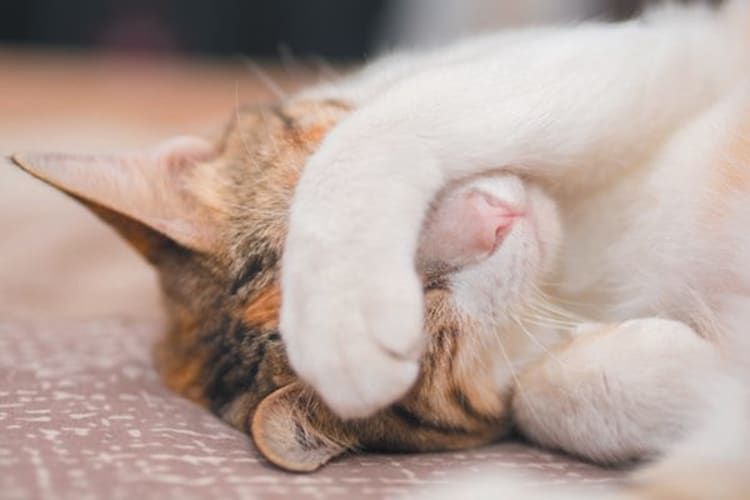 why cats cover their faces