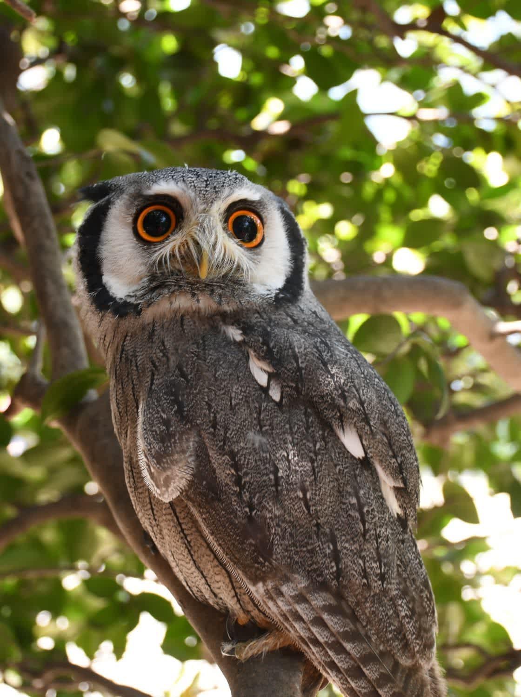 kururu_owl