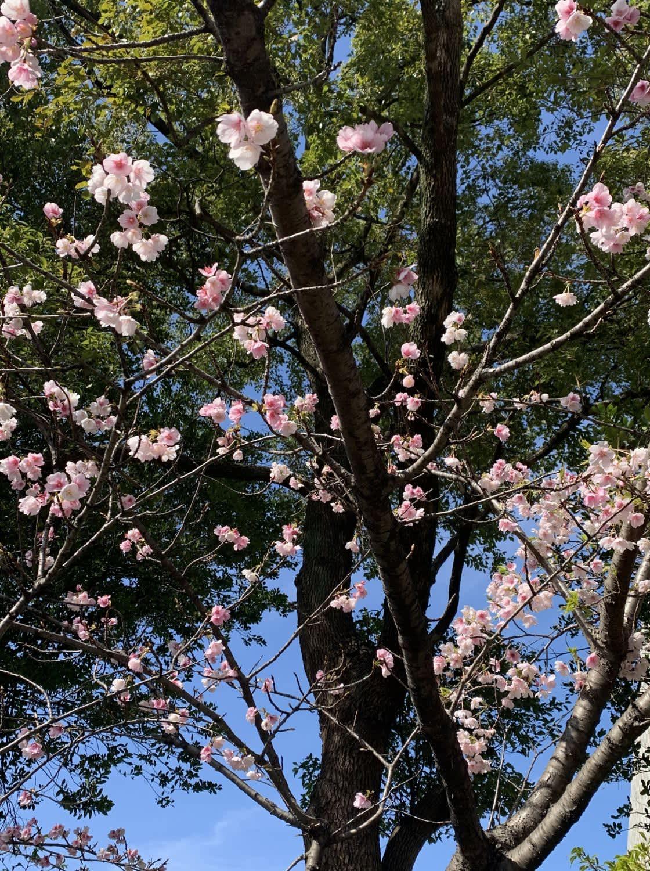 shusakuragawa