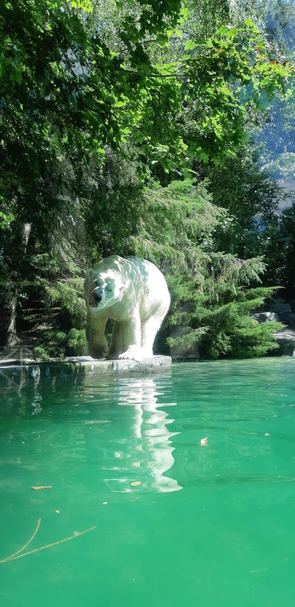 Macintosh HD:Users:gregoirecanlorbe:Desktop:Polar bear, Zoo de la Flêche .jpg