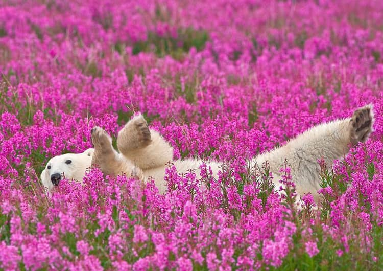 Macintosh HD:Users:gregoirecanlorbe:Desktop:Polar bear among flowers.jpg