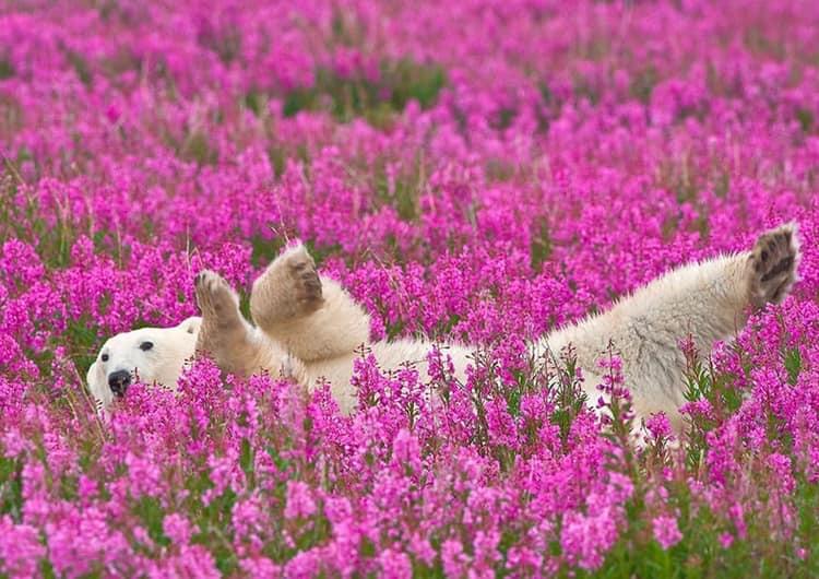 Macintosh HD:Users:gregoirecanlorbe:Desktop:Polar bear among flowers.jpg