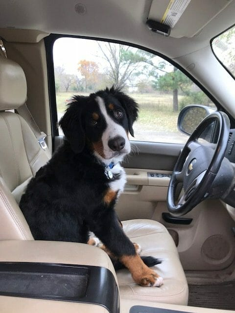 Bernese mountain dog driving a truck