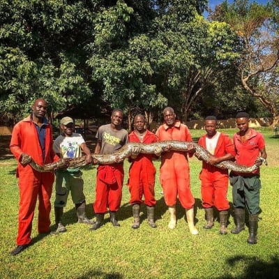 Southern African Python - new attraction at Kalimba!  image