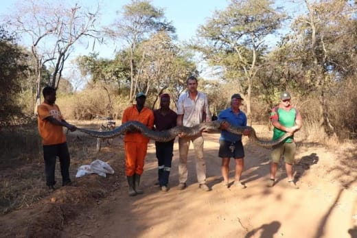 Southern African Python - new attraction at Kalimba!