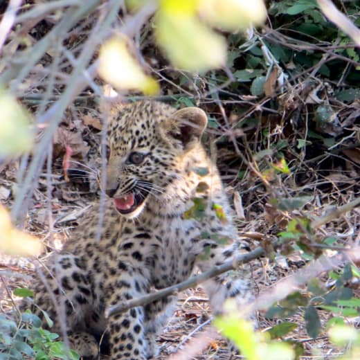 New leopard cubs in Lower Zambezi National Park